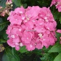 Hydrangea macrophylla 'Oregon Pride' ® 20/40 C4L