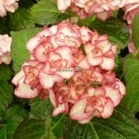 Hydrangea macrophylla 'Miss Saori' ® 20/40 C4L