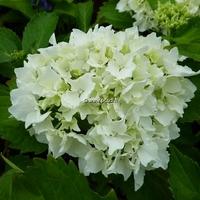 Hydrangea macrophylla 'Nymphe' 20/40 C4L