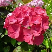 Hydrangea macrophylla 'Ruby Red' ® 20/40 C4L