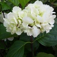 Hydrangea macrophylla 'Zebra' ® 20/40 C4L