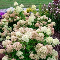 Hydrangea paniculata 'Little Lime' ® 30/40 C3,5L