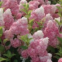 Hydrangea paniculata 'Vanille Fraise' ® 30/40 C4L