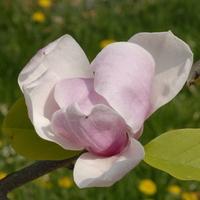 Magnolia 'Big Dude' 100/125 C4/5L