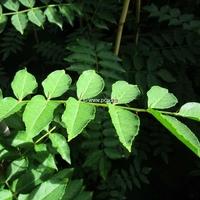 Zanthoxylum stenophyllum 80/100 C4L