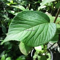 Viburnum furcatum 30/40 C4L