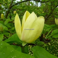 Magnolia 'Yellow Bird' 60/80 C4L