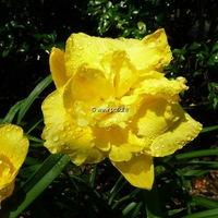 Hemerocallis 'Shades of Havana' C3L