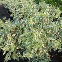 Abelia x grandiflora 'Sparkling Silver' 30/40 C4L