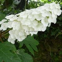 Hydrangea quercifolia 'Snowqueen' ® 40/50 C3L