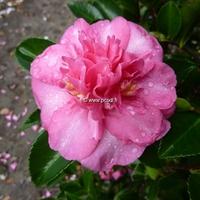 Camellia sasanqua var. hiemalis 'Sparkling Burgundy' 30/40 C3L