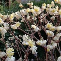 Edgeworthia chrysantha 40/50 C3,5L