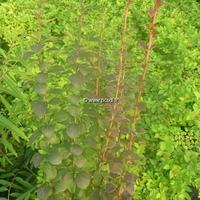 Berberis thunbergii 'Red Torch' ® 30/40 C4L