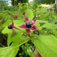 Clerodendrum trichotomum 'Purple Blaze' 100/120 C4L