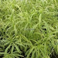 Erysimum linifolium 'Variegatum' 30/40 C3L