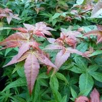 Acer palmatum 'Chishio' 60/100 C10L