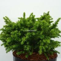 Cryptomeria japonica 'Yokohama' 25/30 C3L