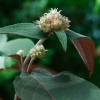 Hydrangea aspera 'Hot Chocolate' ® 30/40 C3L