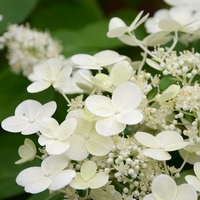 Hydrangea paniculata 'Sparkling' ® 40/60 C5L