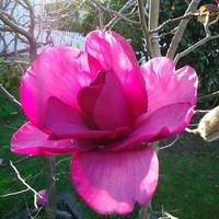 Magnolia 'Felix' ® 100/125 C10L