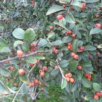 Cotoneaster franchetii 40/60 C4L