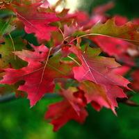 Quercus rubra 80/125 C4L