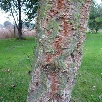 Quercus suber 40/60 C4L