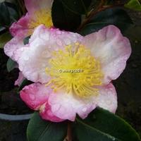 Camellia sasanqua 'Betty Lynda' 40/60 C5L