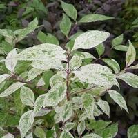 Callicarpa japonica 'Shiji Murasaki' 30/40 C4L