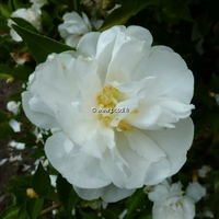 Camellia sasanqua 'Etoile du Berger' 20/30 C3L