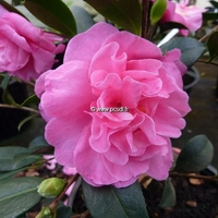 Camellia sasanqua 'Slimline With Love'