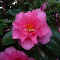 Camellia sasanqua var. hiemalis 'Shishigashira'