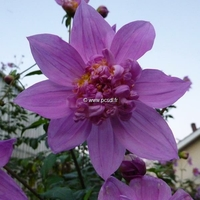 Dahlia imperialis 'Double or Nothing' C3L