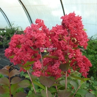 Lagerstroemia indica 'Dynamite' ® 100/125 C4L