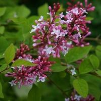 Syringa pubescens ssp. microphylla 'Superba' 40/50 C4L