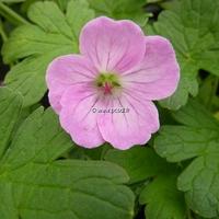 Geranium x riversleaianum 'Mavis Simpson' C3L