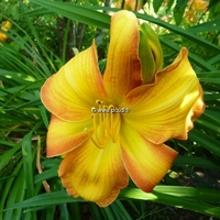 Hemerocallis 'Wild One' C3L