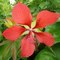 Hibiscus coccineus C3L