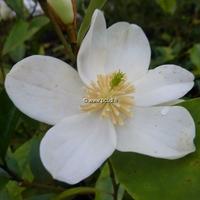Magnolia yunnanensis 125/150 C7L
