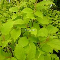 Stachyurus chinensis 'Goldbeater' 40/50 C4L
