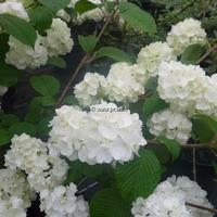 Viburnum plicatum 'Pop Corn'