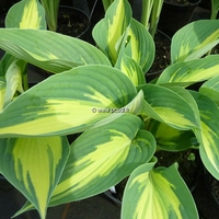 Hosta 'High Society' C3L