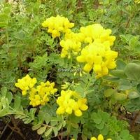 Coronilla valentina ssp. glauca 30/40 C3L