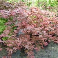 Acer palmatum 'Shindeshojo' 125/175 C15L