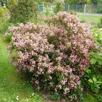Rhaphiolepis indica 'Springtime' 30/40 C4L