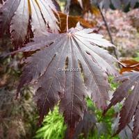 Acer shirasawanum 'Yasemin' 175/200 C15L