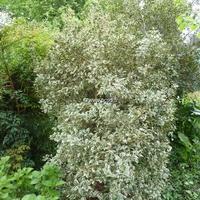 Osmanthus heterophyllus 'Variegatus' 30/40 C4L