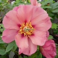 Paeonia x itoh 'Old Rose Dandy' C3L