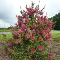 Callistemon viminalis 'Hot Pink' ® 40/60 C4L