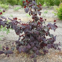 Corylus avellana 'Red Majestic' ® 80/100 C4L